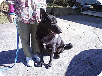 German Shepherd Dog Dog for adoption in Greeneville, Tennessee - Tanya