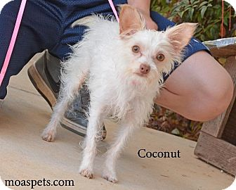 Terrier (Unknown Type, Small)/Chihuahua Mix Dog for adoption in Danielsville, Georgia - Coconut