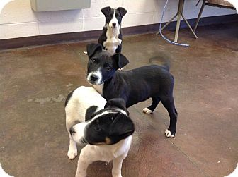 Border Collie Mix Puppy for adoption in Scottsboro, Alabama - The Band Perry