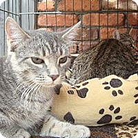 Adopt A Pet :: Silver - Brooklyn, NY