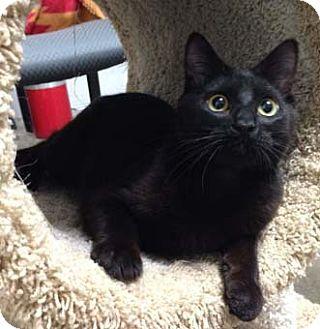 Havana Brown Kitten for adoption in Merrifield, Virginia - Ash