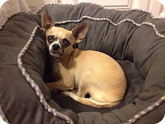Chihuahua Mix Dog for adoption in Manahawkin, New Jersey - Fiona