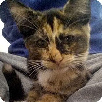 Domestic Shorthair Kitten for adoption in Chandler, Arizona - Nori