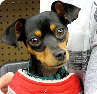 Miniature Pinscher/Chihuahua Mix Dog for adoption in Studio City, California - Joey Tootles