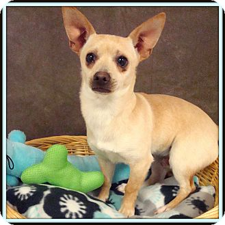 Chihuahua Mix Dog for adoption in Glendale, Arizona - Biscuits