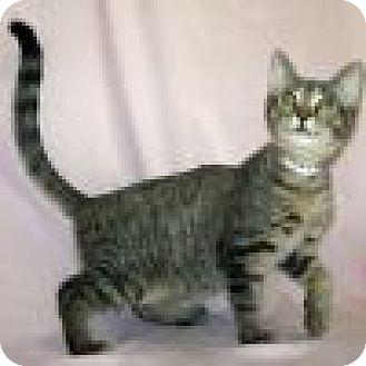 Domestic Shorthair Cat for adoption in Powell, Ohio - Hawkeye