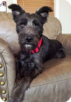 Schnauzer (Standard) Dog for adoption in Fredericksburg, Texas - Blair