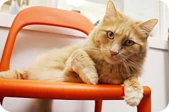 Domestic Longhair Cat for adoption in Bellevue, Washington - Chino