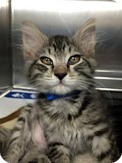Domestic Longhair Kitten for adoption in Bradenton, Florida - Haydn