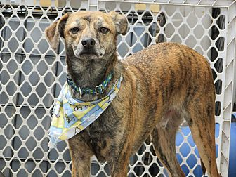 Catahoula Leopard Dog Mix Dog for adoption in Columbia Heights, Minnesota - Pete