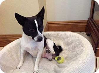 Papillon/Rat Terrier Mix Dog for adoption in Oviedo, Florida - Oreo