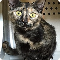 Domestic Shorthair Cat for adoption in Winchester, Tennessee - Mary