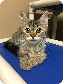 Domestic Mediumhair Kitten for adoption in Germantown, Tennessee - Rhubarb