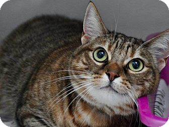 Domestic Shorthair Cat for adoption in Long Beach, California - Tiger