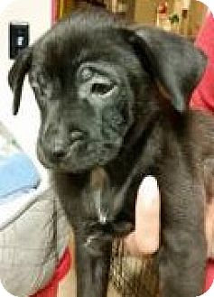 German Shepherd Dog Mix Puppy for adoption in Streamwood, Illinois - Cassiopeia