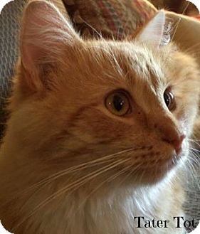 Domestic Longhair Cat for adoption in Mansfield, Ohio - Tater Tot