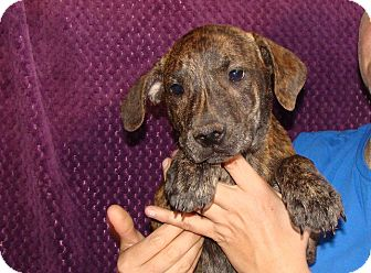 Plott Hound/Labrador Retriever Mix Puppy for adoption in Oviedo, Florida - Yahoo
