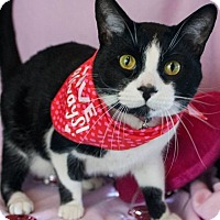 Domestic Shorthair Cat for adoption in Muskegon, Michigan - Manny
