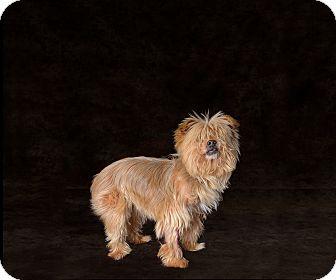 Yorkie, Yorkshire Terrier Mix Dog for adoption in Van Nuys, California - Gerber