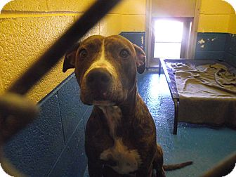 American Pit Bull Terrier Mix Dog for adoption in Delta, Colorado - Luka