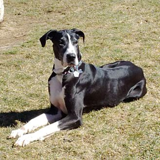 Great Dane Mix Dog for adoption in Lucknow, Ontario - Stella ** Companion Dog **