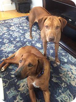 Rhodesian Ridgeback Mix Dog for adoption in Warwick, Rhode Island - Brody & Juno