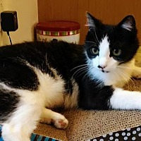 Domestic Shorthair Cat for adoption in River Falls, Wisconsin - Cookie