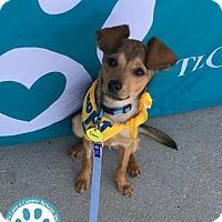 Adopt A Pet :: Dora - Kimberton, PA