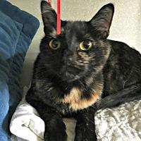 Domestic Mediumhair Cat for adoption in Mount Ida, Arkansas - Torti