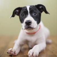 Adopt A Pet :: Miranda - West Allis, WI