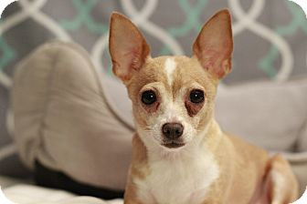 Chihuahua Dog for adoption in Romeoville, Illinois - Astrid