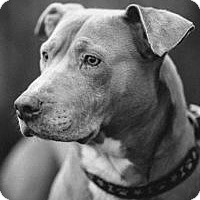 Adopt A Pet :: Lilly Bear - Portland, OR