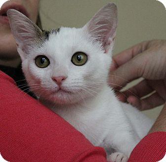 Domestic Shorthair Kitten for adoption in Houston, Texas - Cottonwood- VIDEO