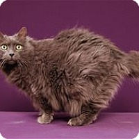 Adopt A Pet :: Freeway (Declawed) (Special Needs) - Cary, NC