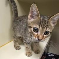Adopt A Pet :: Cap'n Crunch - Boone, NC