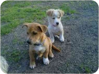 Terrier (Unknown Type, Small) Mix Puppy for adoption in Los Angeles, California - Charlie
