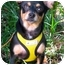 Photo 1 - Chihuahua Mix Puppy for adoption in Portland, Oregon - Honeydew