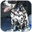 Photo 4 - Dalmatian Dog for adoption in Mandeville Canyon, California - Max