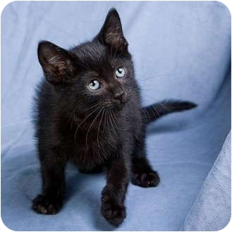 Domestic Shorthair Kitten for adoption in Anna, Illinois - BLUE
