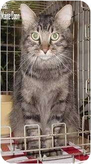Maine Coon Cat for adoption in Houston, Texas - Leo