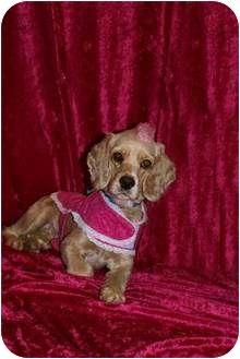Cocker Spaniel Mix Dog for adoption in Hendersonville, Tennessee - Sugar