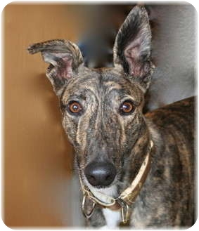 Greyhound Dog for adoption in Harrisburg, Pennsylvania - Dash