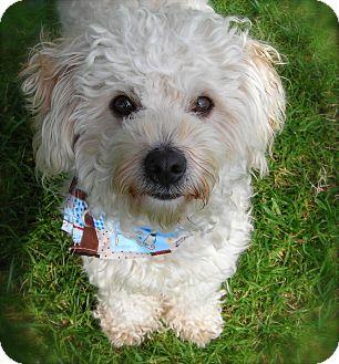 Bichon Frise Mix Dog for adoption in El Cajon, California - Chuck