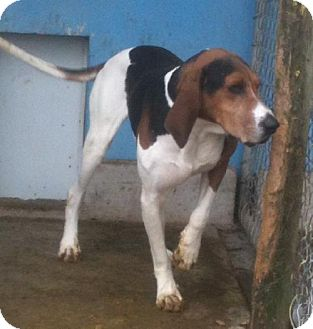 Treeing Walker Coonhound Dog for adoption in Schererville, Indiana - Perry