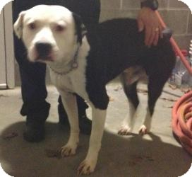 American Bulldog/American Staffordshire Terrier Mix Dog for adoption in Bloomfield, Connecticut - Dogwood