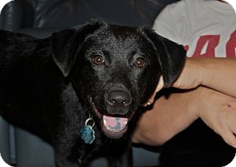 Labrador Retriever/Shepherd (Unknown Type) Mix Puppy for adoption in Chattanooga, Tennessee - Stormy