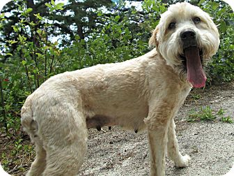 Wheaten Terrier Dog for adoption in Forked River, New Jersey - Pumpkin