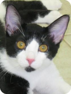 Domestic Shorthair Kitten for adoption in Abilene, Texas - Cort