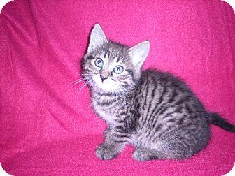 "Domestic Mediumhair Kitten for adoption in New Castle, Pennsylvania - "" Tucker """