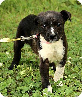 Border Collie/Boxer Mix Puppy for adoption in Staunton, Virginia - Quinn